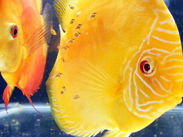New Discus Pair - Albino Solid Yellow x Red Melon Day11a