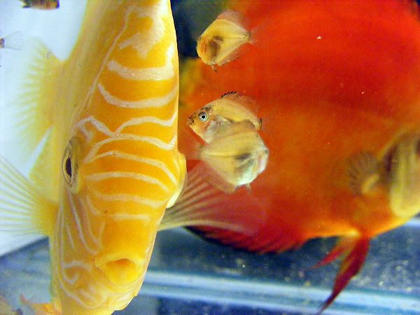 New Discus Pair - Albino Solid Yellow x Red Melon Day17a