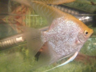 New Angelfish.. Male or Female? Securedownload