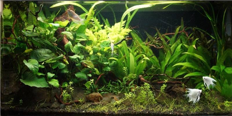 Planted Gourami tank 25ftGourami16thMar20141b
