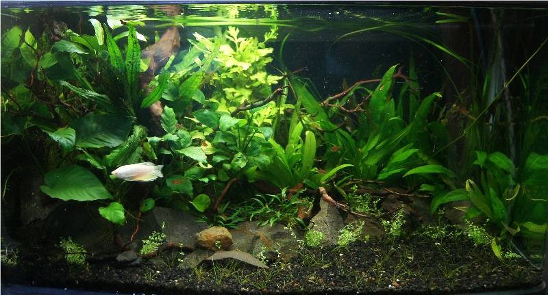 Planted Gourami tank 26ft14thFeb20141a