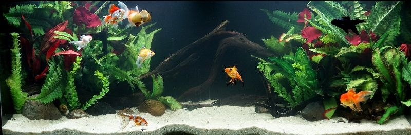*Planted* Goldfish tank 4ft25thApril20141a