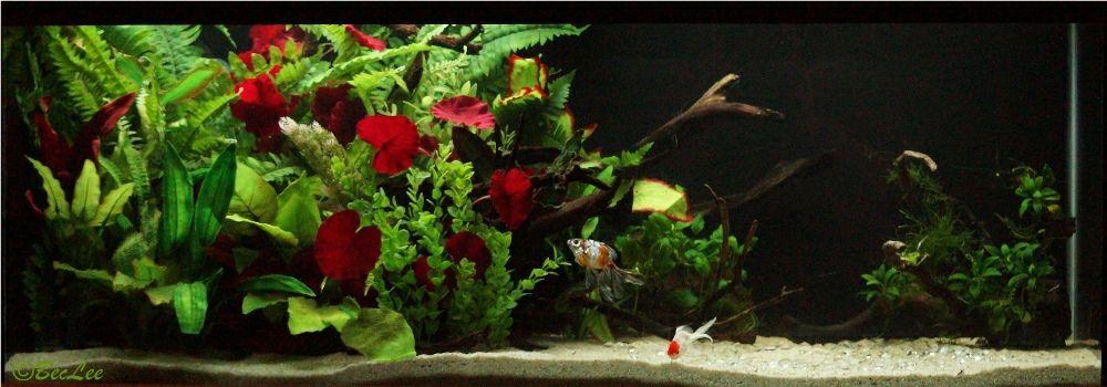 *Planted* Goldfish tank Goldies29thJan20141o