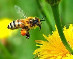 Het medicijn afkomstig van Bijen Propolis