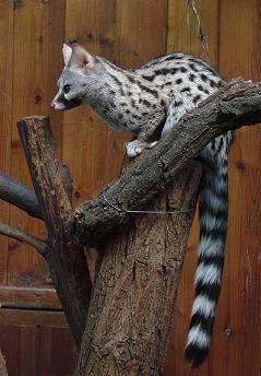 Introduced species and their habitats Genet_zpswjkdisae