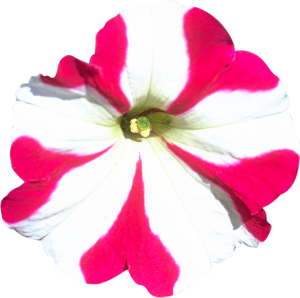 Flower mix F132067