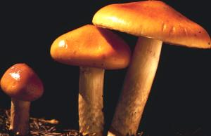 Mushrooms various F208024