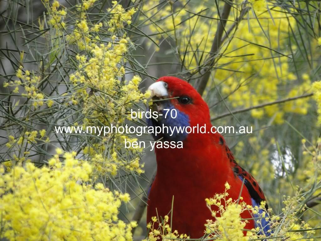 கவலை மறக்கும் காட்சிகள் அழகிய பறவைகள் சில.. - Page 2 Birds-70-canberra