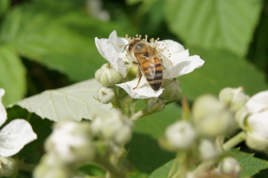 Opération, sauvetage d'abeilles  07juillet2012Zoufftgen190FILEminimizer