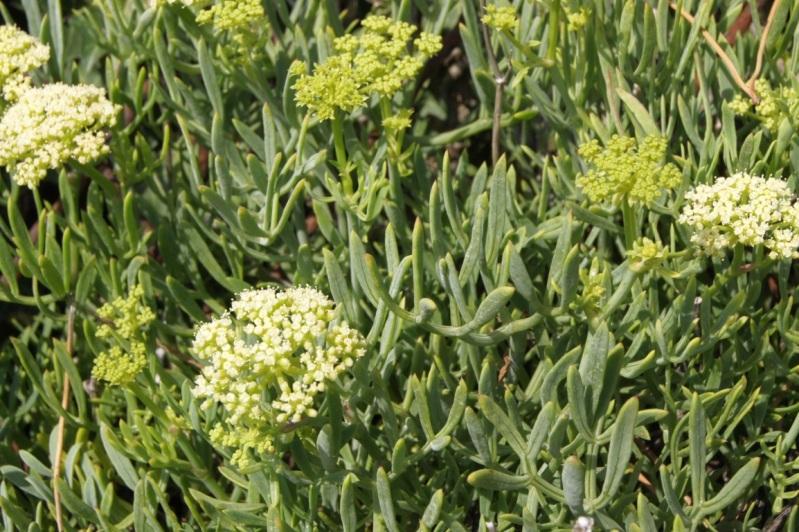 fleurs du littoral atlantique 10aot2012plageduPlatinSaintPalaissurmer10FILEminimizer