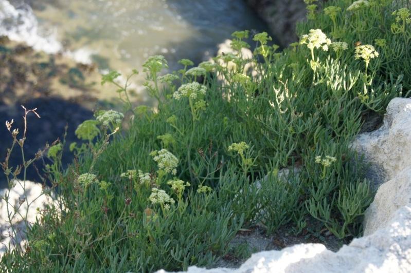 fleurs du littoral atlantique 10aot2012plageduPlatinSaintPalaissurmer57FILEminimizer