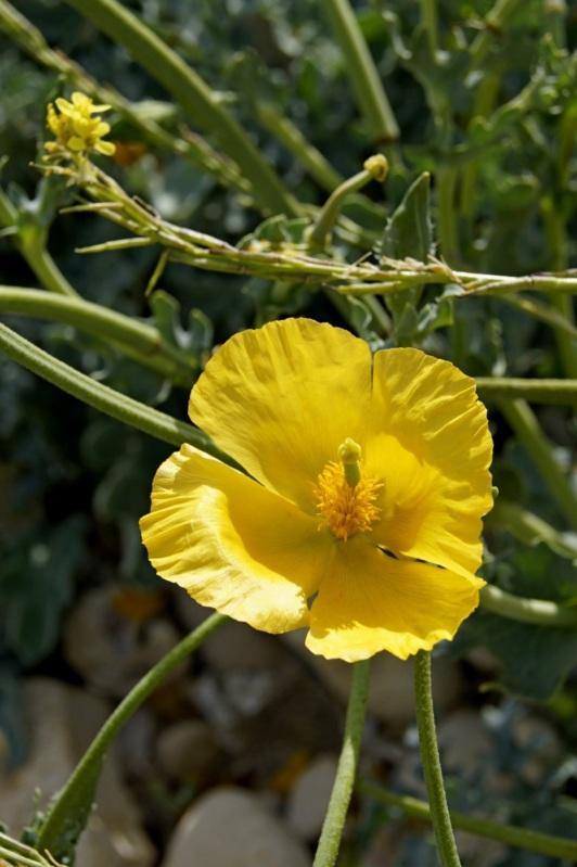 fleurs du littoral atlantique 16aot2012plagedAytr04FILEminimizer