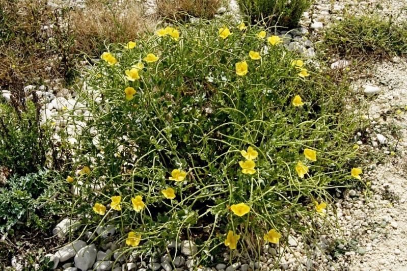 fleurs du littoral atlantique 16aot2012plagedAytr05FILEminimizer