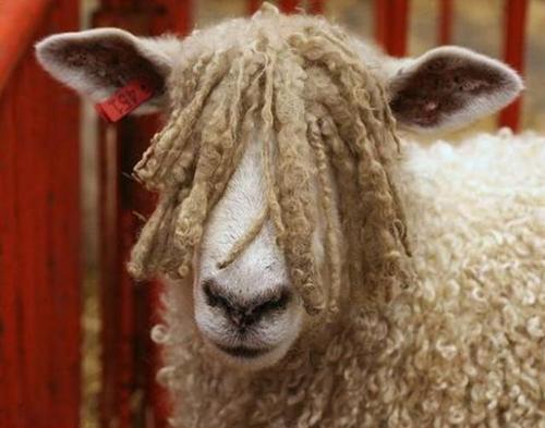 l'évolution du mouton du néolithique à l'âge de bronze 243067mouton6_large