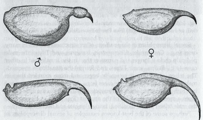 [Basic of Sexing] Membedakan Jenis Kelamin Kalajengking Sexualdimorphismintelsonshape-abovetelsonofmaleandfemaleAnuroctonusphaiodactylus-belowtelsonofmale-1