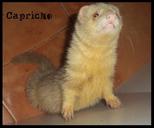 ShiinaS Ferrets. Capricho2_zps151208bc