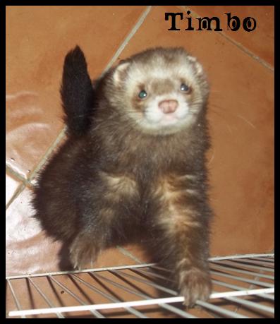 ShiinaS Ferrets. Timbo_zpsffb6c03e