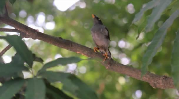 Matir Moyna (Bangladesh, 2002) The Clay Bird OPssaro10