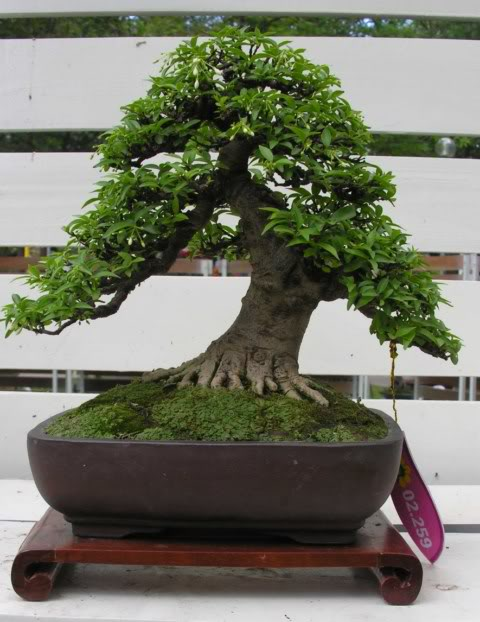 Bonsai exhibition at Spring Flower Festival (viet Nam) 01Wrightiareligiosa37