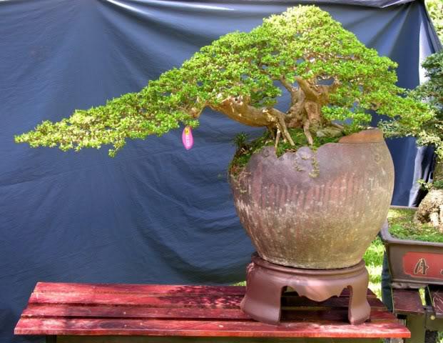 Bonsai exhibition at Spring Flower Festival (viet Nam) 02Antidesmaacidum