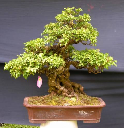 Bonsai exhibition at Spring Flower Festival (viet Nam) 03AverrhoacarambolaL