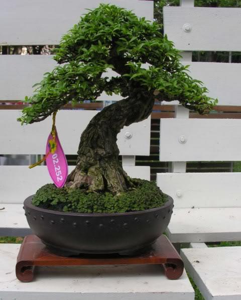 Bonsai exhibition at Spring Flower Festival (viet Nam) 04Wrightiareligiosa36