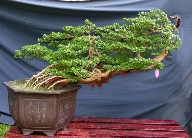 Bonsai exhibition at Spring Flower Festival (viet Nam) 05Desmodiumunifoliatum