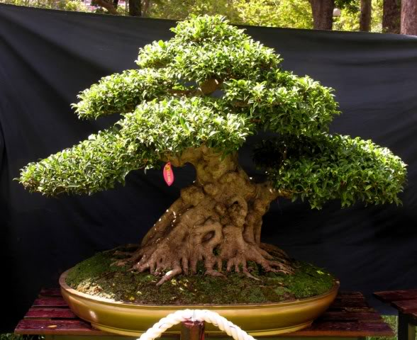 Bonsai exhibition at Spring Flower Festival (viet Nam) 06Ficus