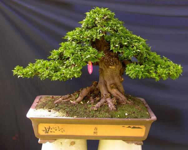 Bonsai exhibition at Spring Flower Festival (viet Nam) 07Wrightiareligiosa6