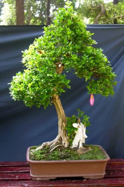 Bonsai exhibition at Spring Flower Festival (viet Nam) 08OrangeJasmine