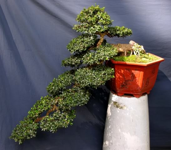 Bonsai exhibition at Spring Flower Festival (viet Nam) 09Antidesmaacidum2