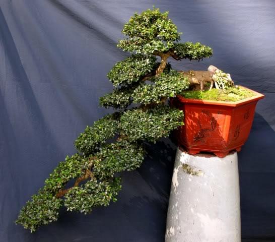 Bonsai exhibition at Spring Flower Festival (viet Nam) 09Antidesmaacidum2