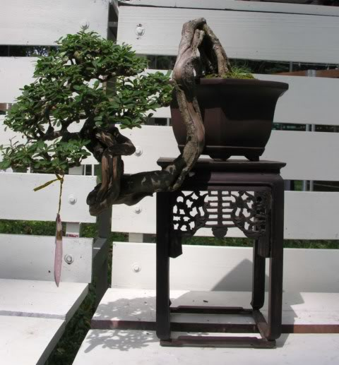 Bonsai exhibition at Spring Flower Festival (viet Nam) 10Desmodiumunifoliatum11