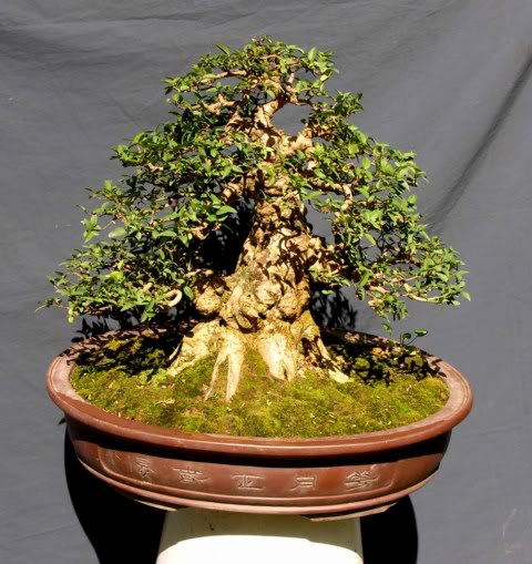 Bonsai exhibition at Spring Flower Festival (viet Nam) 11Wrightiareligiosa7