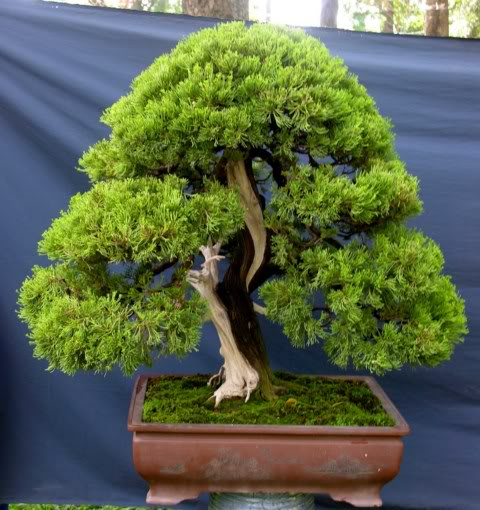 Bonsai exhibition at Spring Flower Festival (viet Nam) 12juniper