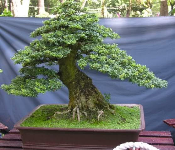 Bonsai exhibition at Spring Flower Festival (viet Nam) 13Feroniellalucida