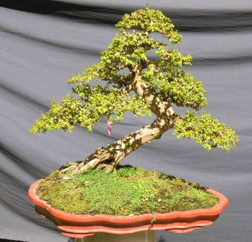 Bonsai exhibition at Spring Flower Festival (viet Nam) 14Antidesmaacidum3