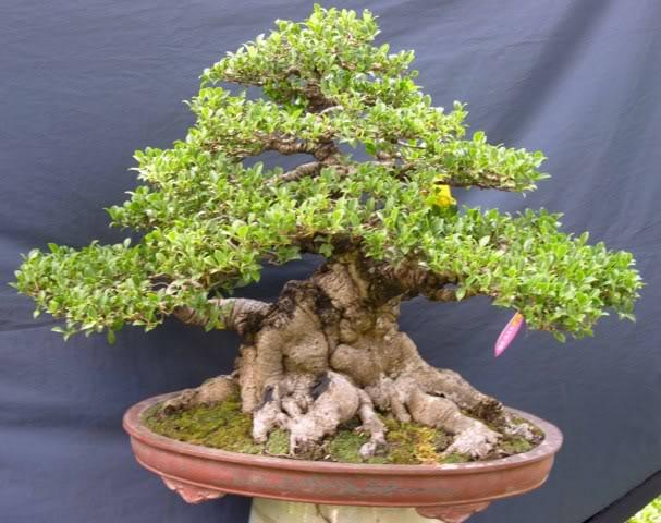 Bonsai exhibition at Spring Flower Festival (viet Nam) 15Ficus5