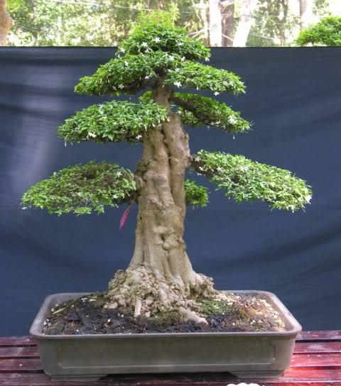 Bonsai exhibition at Spring Flower Festival (viet Nam) 16Wrightiareligiosa5