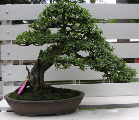 Bonsai exhibition at Spring Flower Festival (viet Nam) 17Desmodiumunifoliatum10