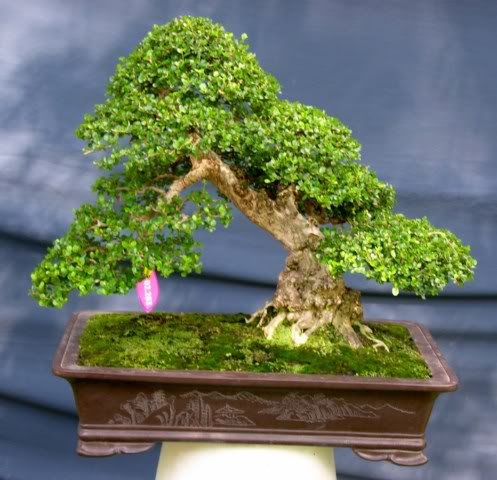 Bonsai exhibition at Spring Flower Festival (viet Nam) 18Antidesmaacidum4