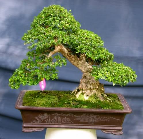 Bonsai exhibition at Spring Flower Festival (viet Nam) 18Antidesmaacidum4