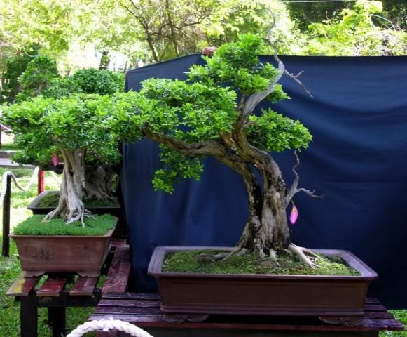 Bonsai exhibition at Spring Flower Festival (viet Nam) 19OrangeJasmine2