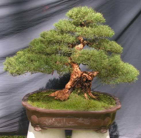 Bonsai exhibition at Spring Flower Festival (viet Nam) 20Casuarinaequisetifolia2