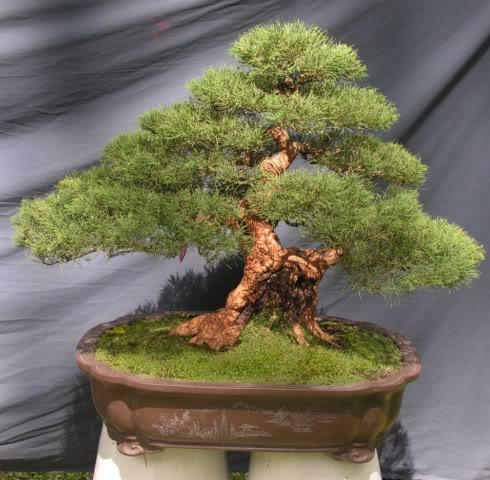 Bonsai exhibition at Spring Flower Festival (viet Nam) 20Casuarinaequisetifolia2
