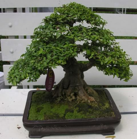 Bonsai exhibition at Spring Flower Festival (viet Nam) 20Wrightiareligiosa35