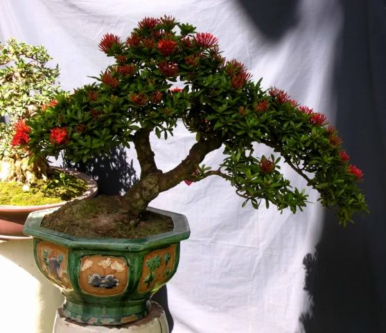 Bonsai exhibition at Spring Flower Festival (viet Nam) 21Ixora