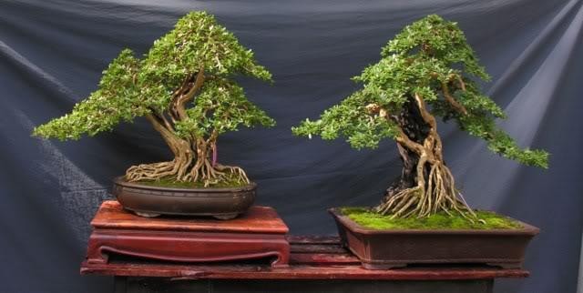 Bonsai exhibition at Spring Flower Festival (viet Nam) 22Desmodiumunifoliatum2