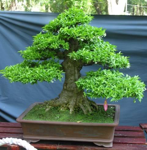Bonsai exhibition at Spring Flower Festival (viet Nam) 23Wrightiareligiosa2