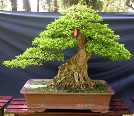 Bonsai exhibition at Spring Flower Festival (viet Nam) 24Wrightiareligiosa4